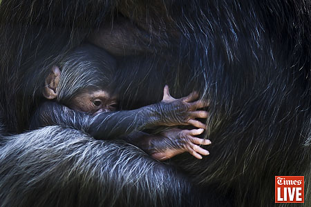 A four-week-old chimp is seen holding onto it's mother, Daisy, in an enclosure in the Johannesburg Zoo. This is the 5th child to Daisy, who is 29-year, born at the Zoo. Chimps are currently listed as endangered by the WWF caused by the bushmeat trade and habitat destruction. Apr 2013