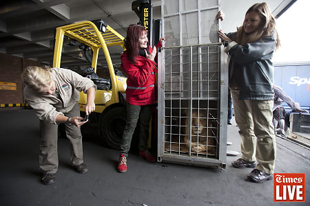 A lion arrives at OR Tambo international airport in Johannesburg en route to Lionsrock in Bethlehem. Two cubs and their parents were rescued by the animal rights organisation Four Paws from Onesti Zoo, Bacau County. Apr 2013