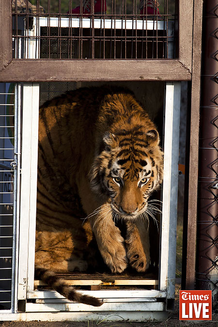 A tiger from Romania, leaves its travel crate as it is released into its new enclosure. Apr 2013