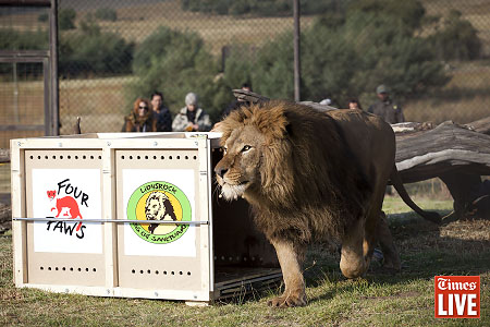 A lion runs as it is released. This was the first time the lions felt grass as they were kept in a concrete cage in Romania. Apr 2013